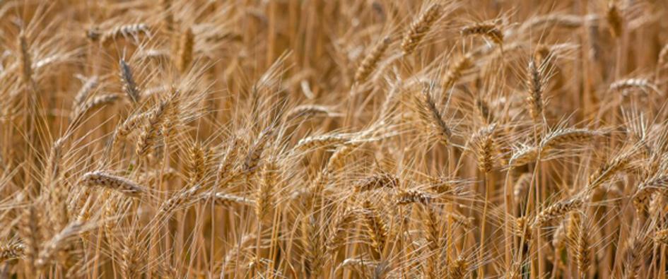 Vue d'un champ de blé.